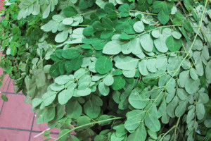 moringa-leaves-drumstick